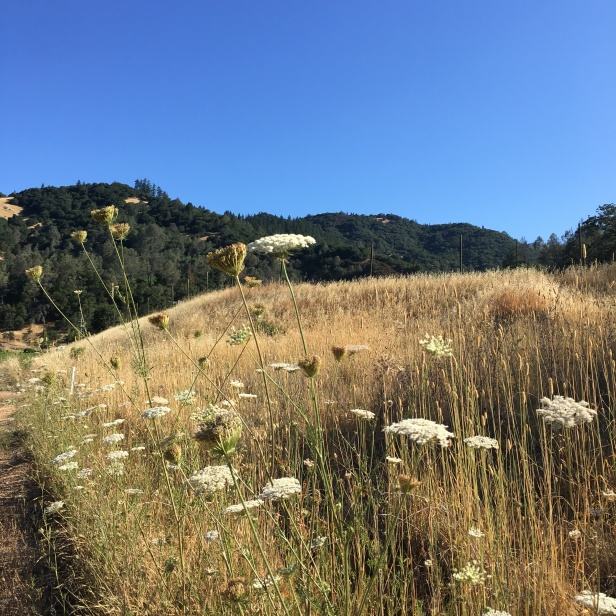 Queen Anne's Lace and golden fields